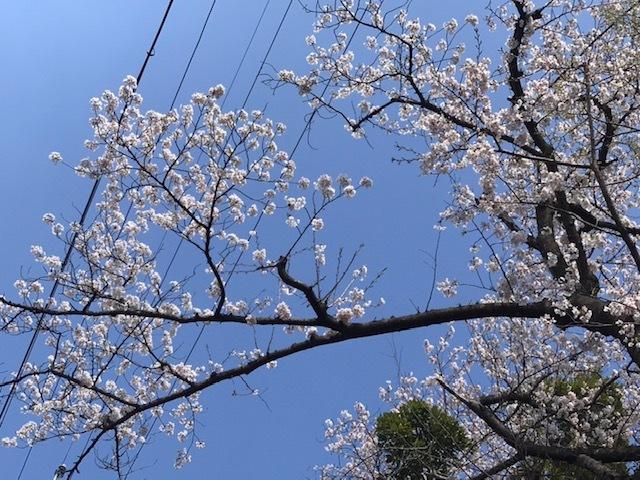 桑名営業所桜