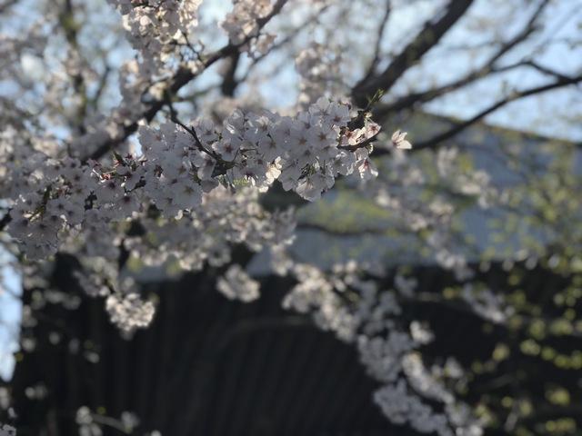 桑名営業所桜2
